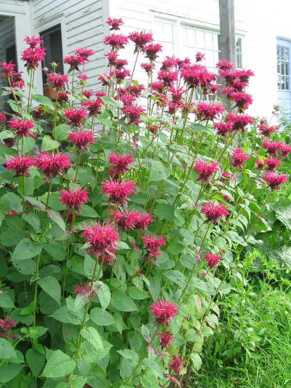 My Plants Commonweeder