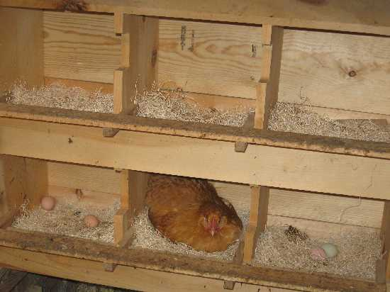 laying hen house design