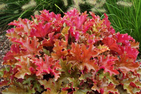 Geranium and Heuchera: Plants of the Year