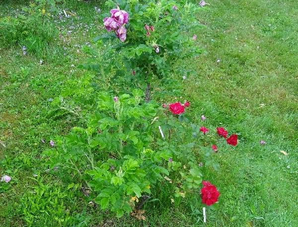 La manera fácil de cultivar rosas | Ganadores probados