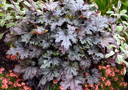 Heucherella 'Cracked Ice' courtesy of Terra Nova Nurseries