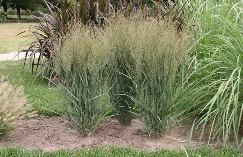 panicum virgata 39 northwind 39 plant of the year. Black Bedroom Furniture Sets. Home Design Ideas