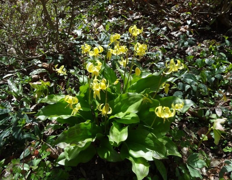Trout Lilies at Leonard J. Buck Garden