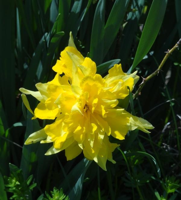 Van Sion daffodil