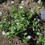 Feliia blue daisy from Proven Winners