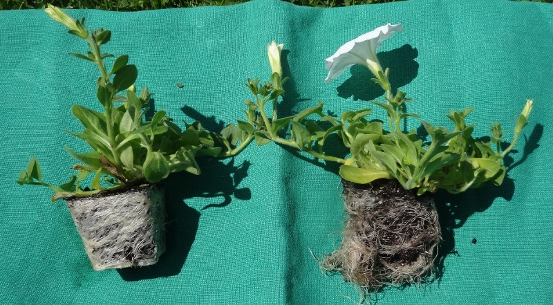 Petunias - root bound and unboard
