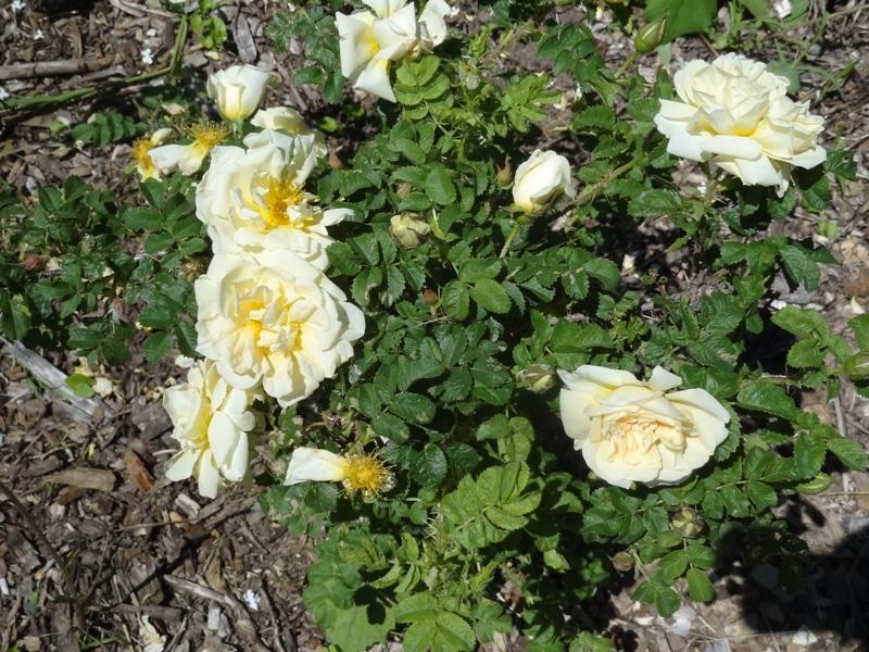 Rugosa rose 'Agnes'