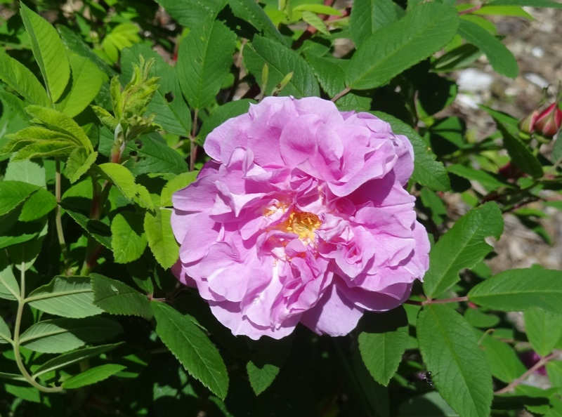 Rugosa Therese Bugnet