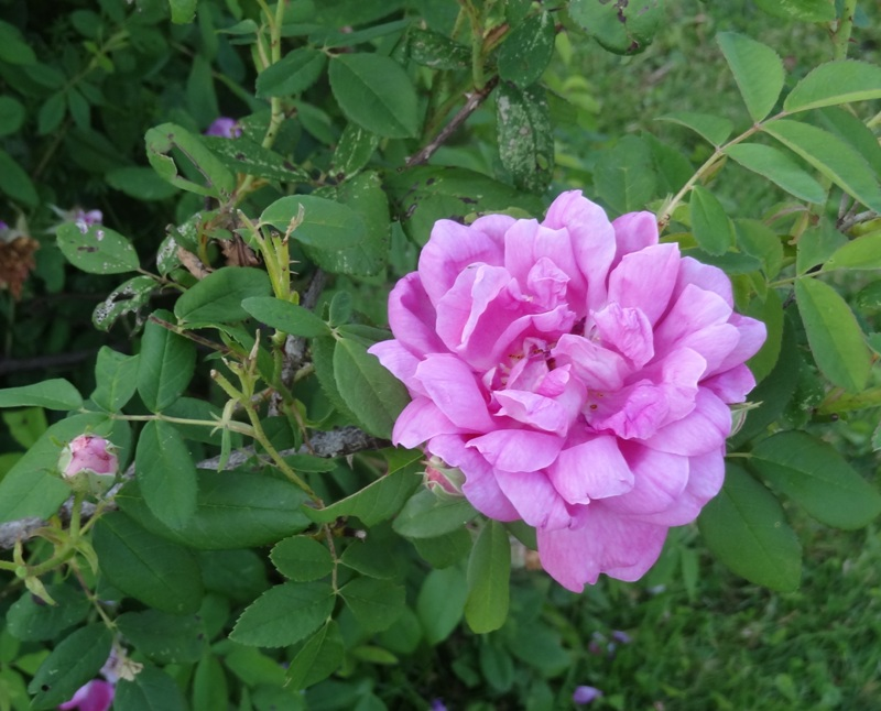 Buckland Rose