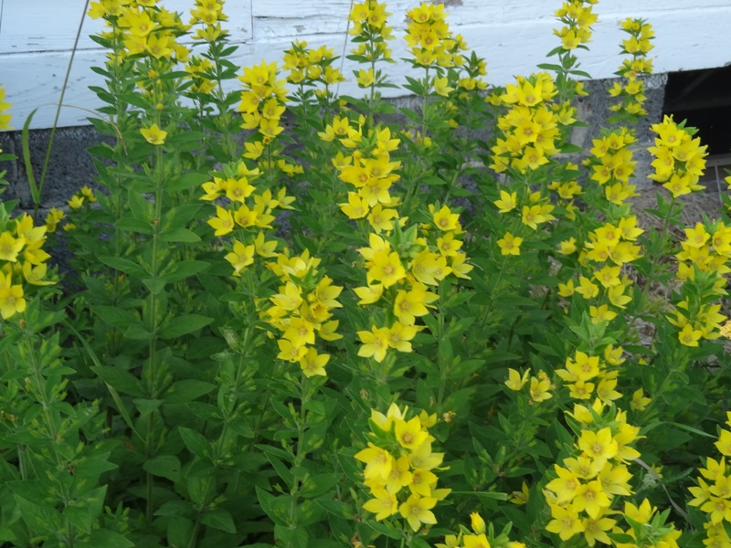 Yellow Loosestrife