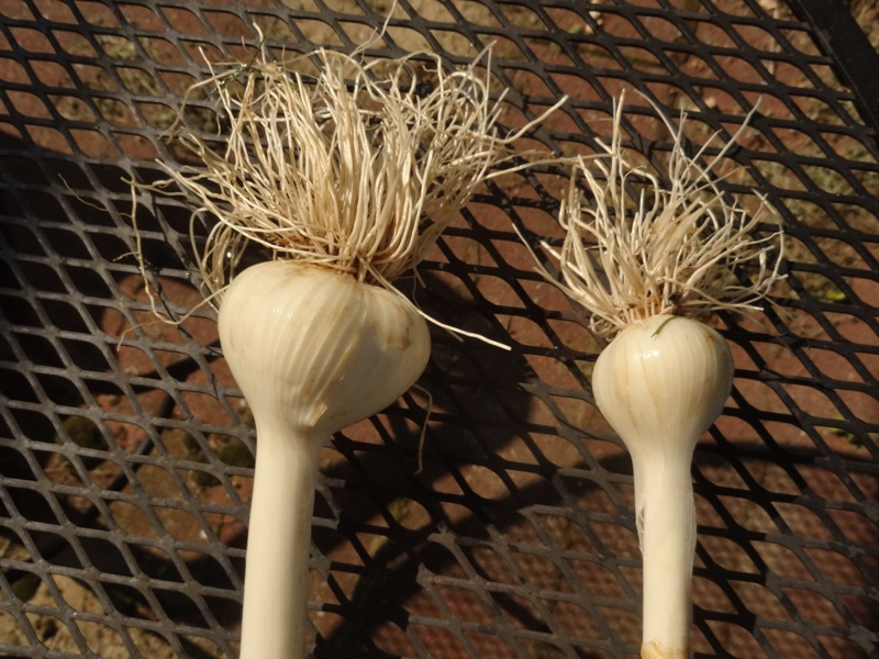 Two garlic bulbs - why is there a difference?