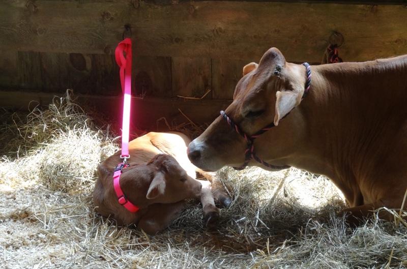 Heath Fair cow and calf