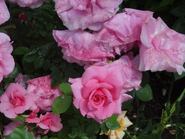 Roses June 25
