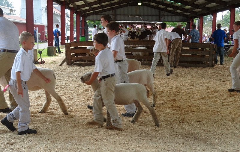 Youth sheep judging at Franklin County Fair