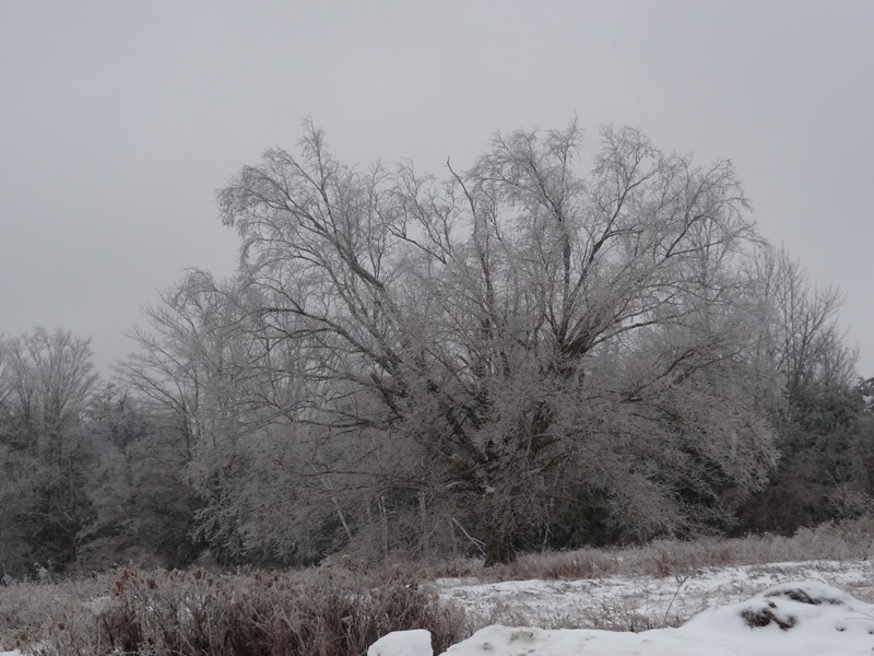 A study in silver - ice encrusted birch