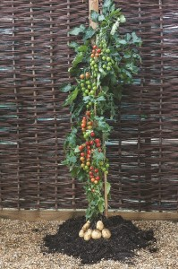 Grafted TomTato from Terratorial Seeds