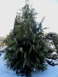 Weeping Nootka false cypress