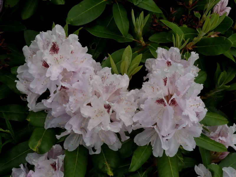 Rhododendron 'Calsap' a broadleaf evergreen
