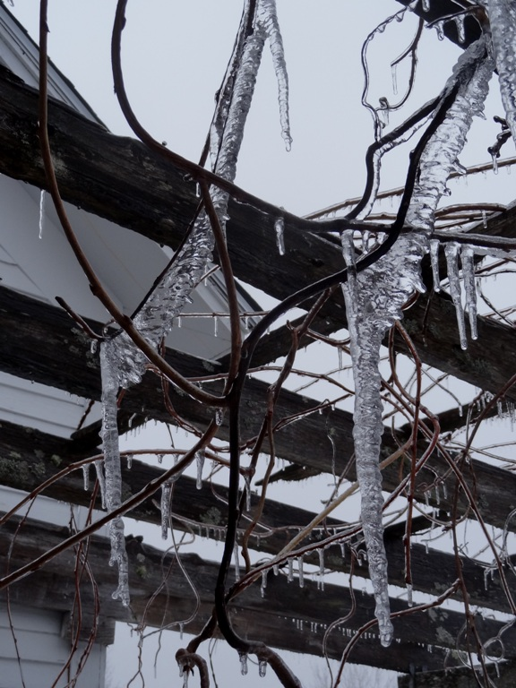 Ice on  the wisteria