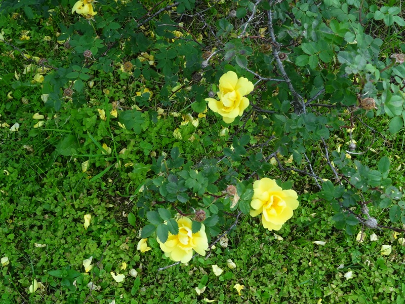 Harrison's Yellow rose