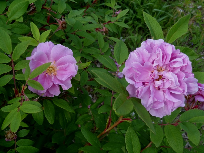 Therese Bugnet rugosa