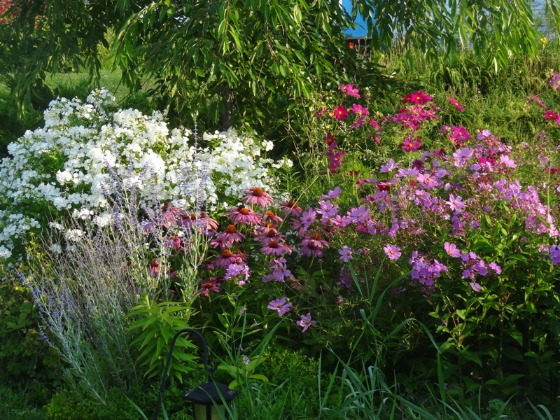 Russian sage, cosmos, coneflowers and phlox