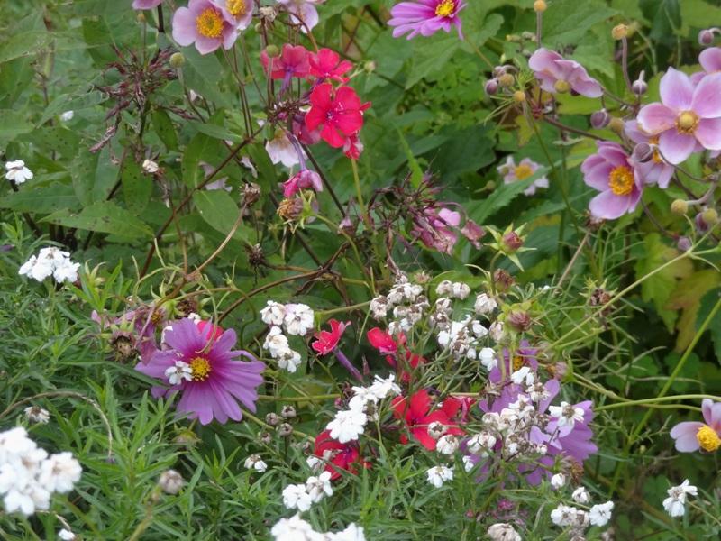 Anemone Robustissima, cosmos, Achillea The Pearl