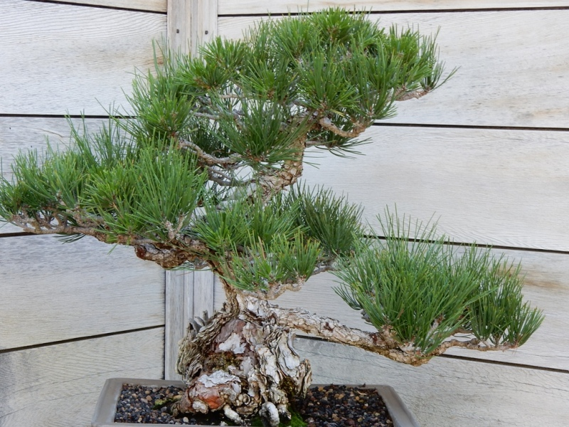 Montezuma cypress bonsai