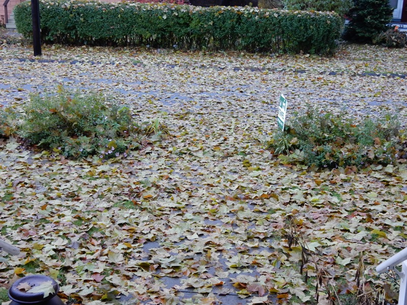 Front yard leaves - biomass