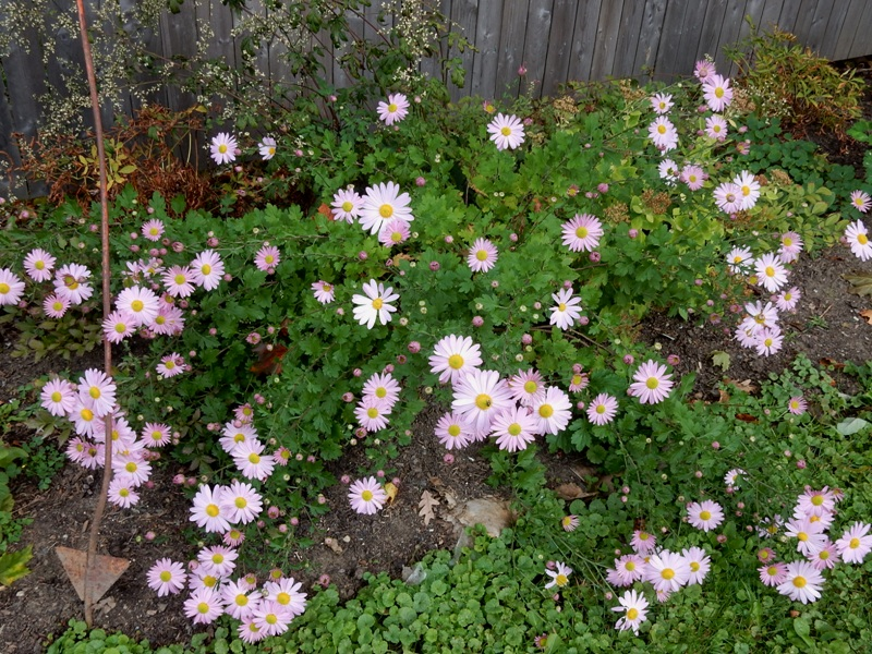 Pink chrysanthemums October 15, 2015