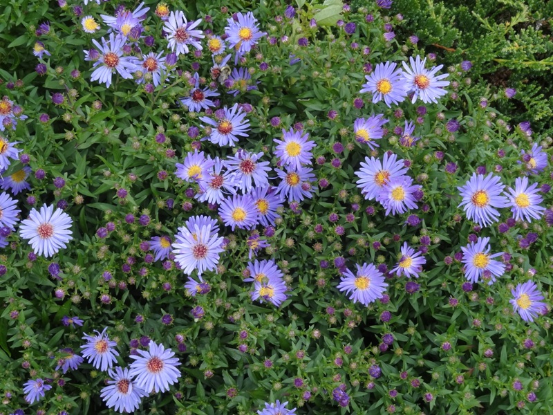 Woods Blue asters