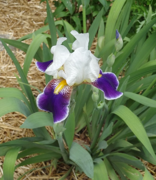 Redstone and the Martins make good use of a variety of irises.