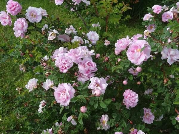 Purington Pink rose