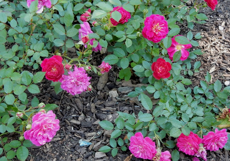 Purple Rain Kordes rose