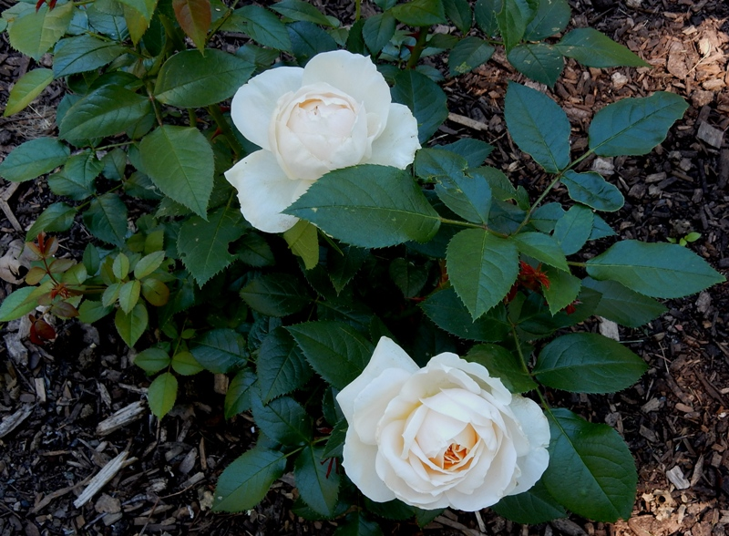 White Kordes rose