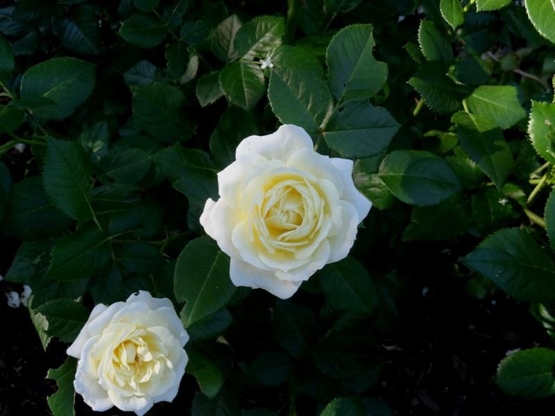 Lion's Rose
