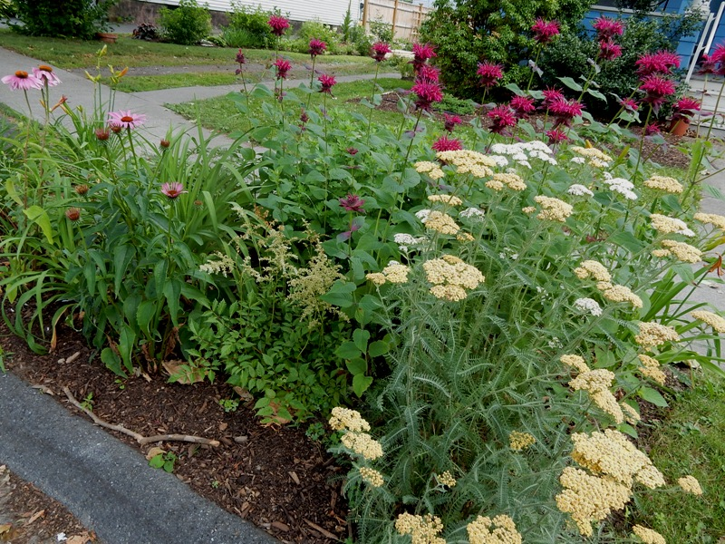Yarrow and coneflowers make my hellstrip a pollinators diner.