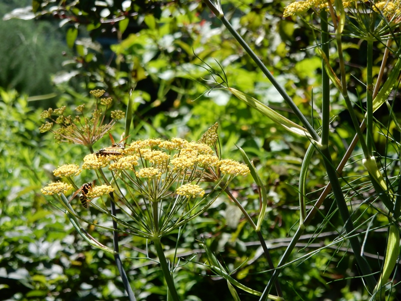 Pollinators on dill
