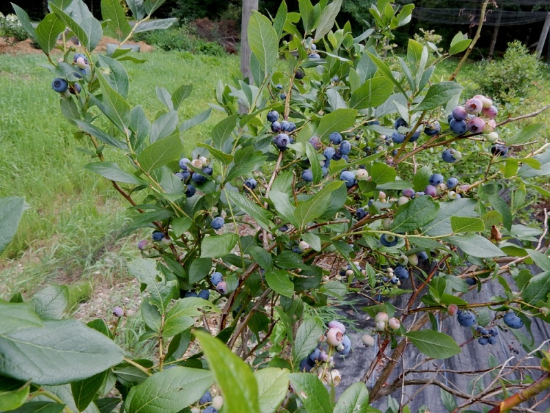 High Bush Blueberries at Wilder Hill Gardens