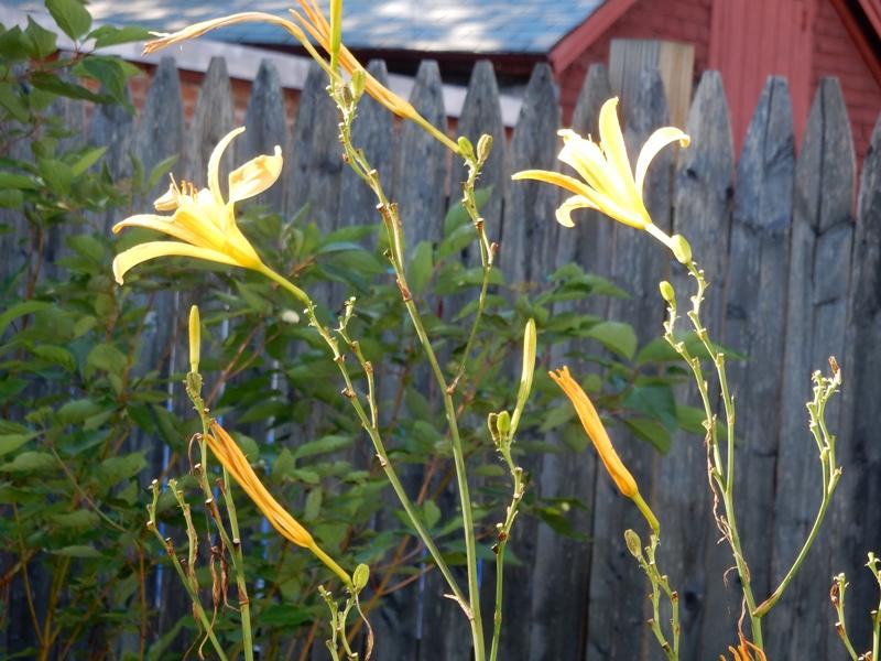 Daylily altissima
