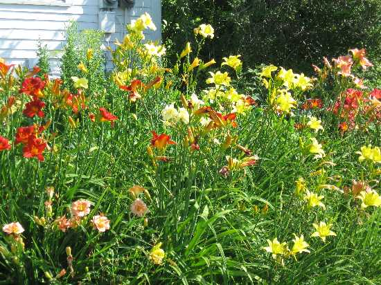 The daylily bank