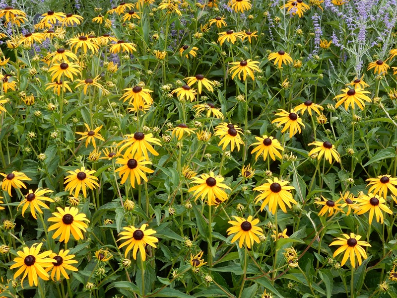 Rudbeckia is another good bee plant
