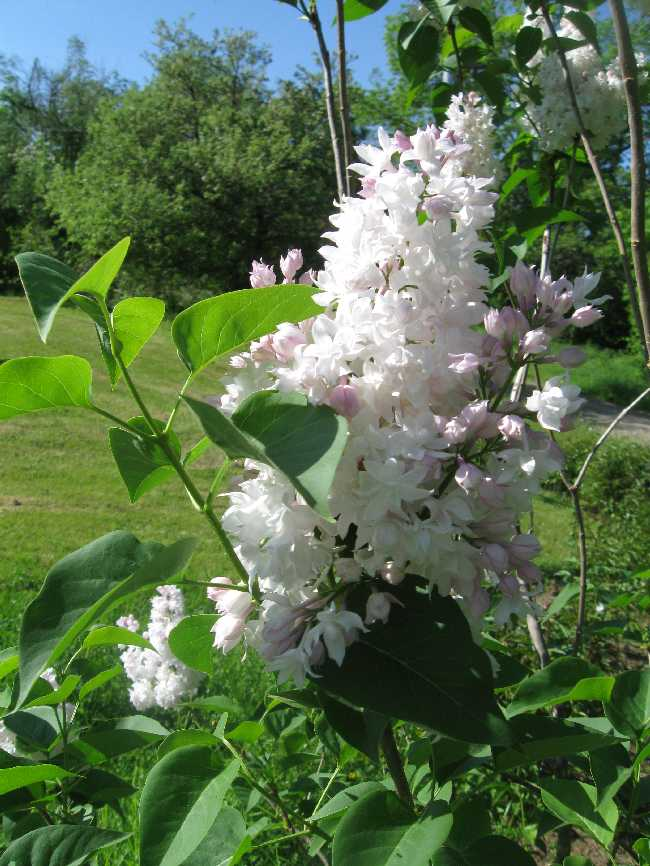Beauty of Moscow lilac