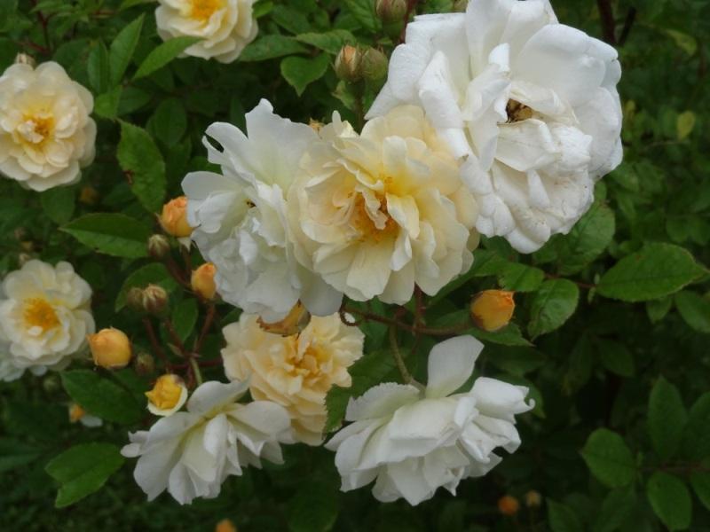 Ghislaine de Feligonde rose