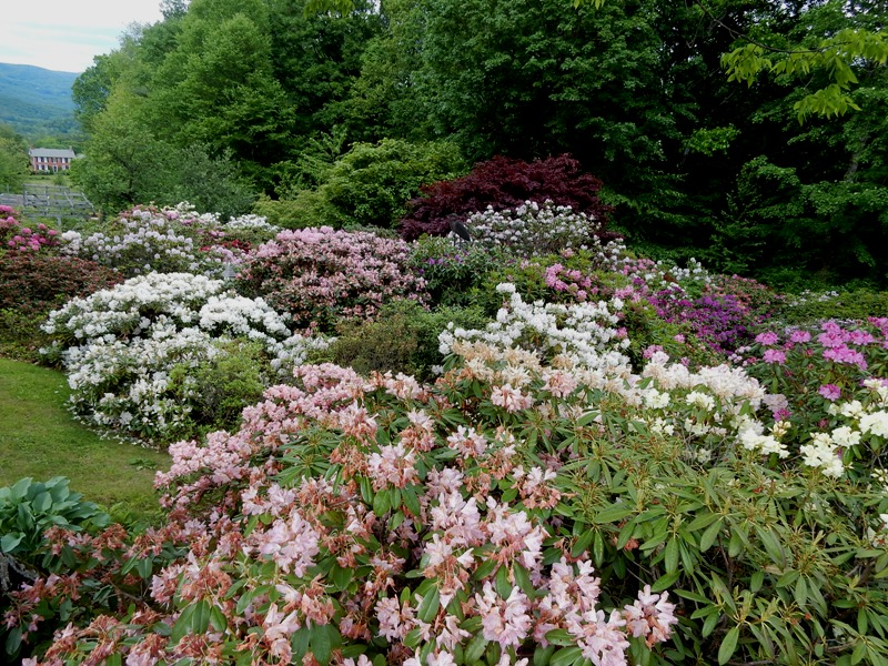 A section of Jerry Sternstein's rhodie hill