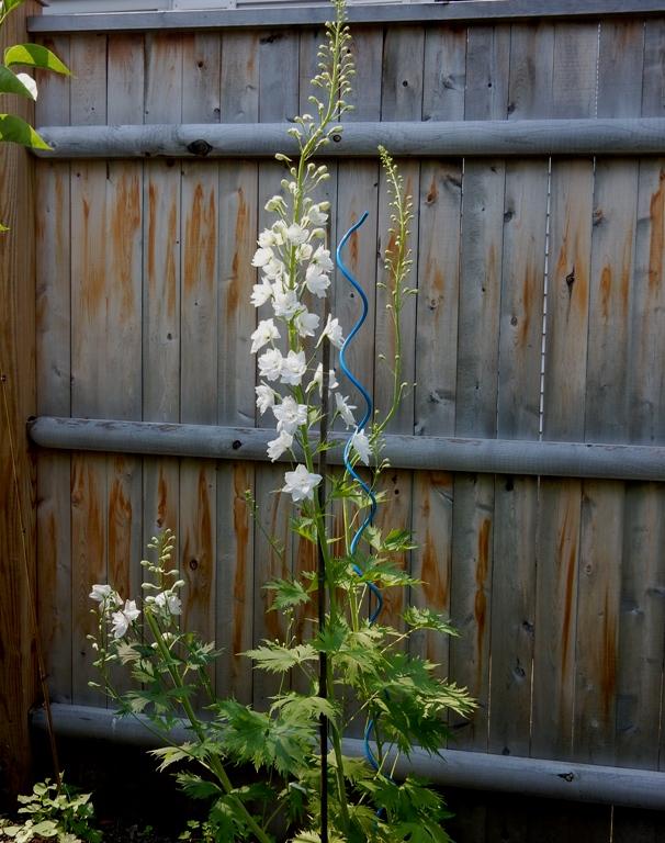 White delphinium