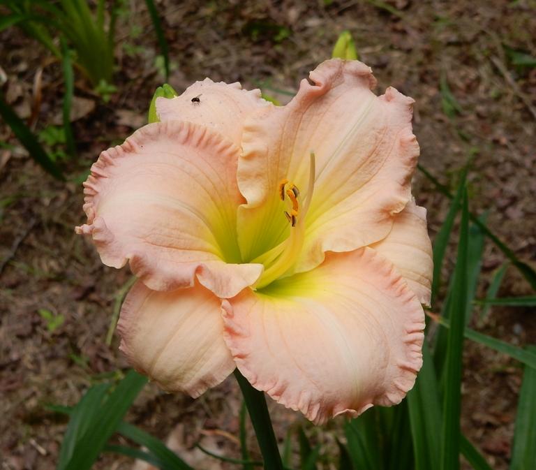 Ruffled daylily