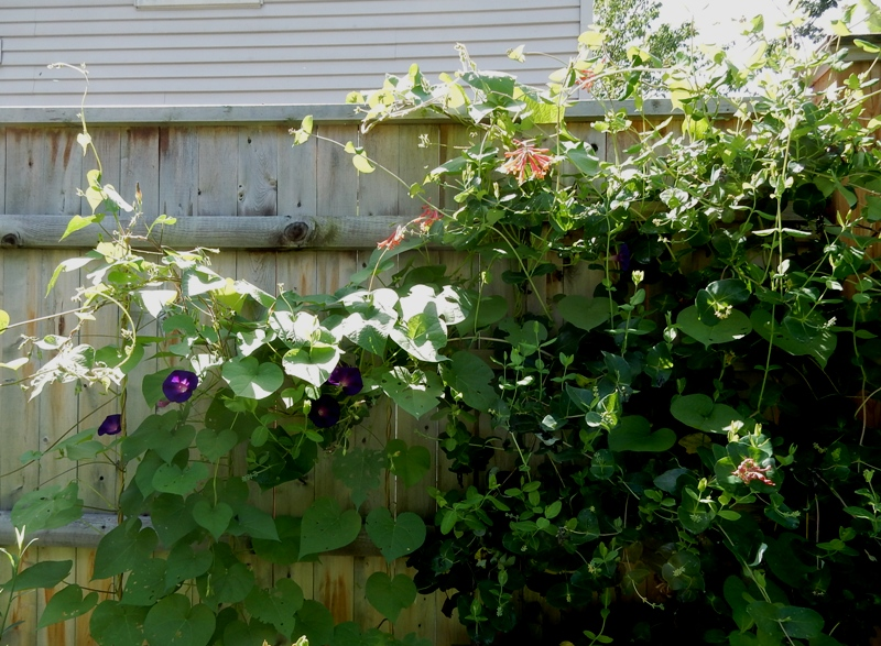 Honeysuckle and morning glory