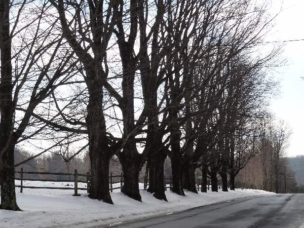 roadside maple trees